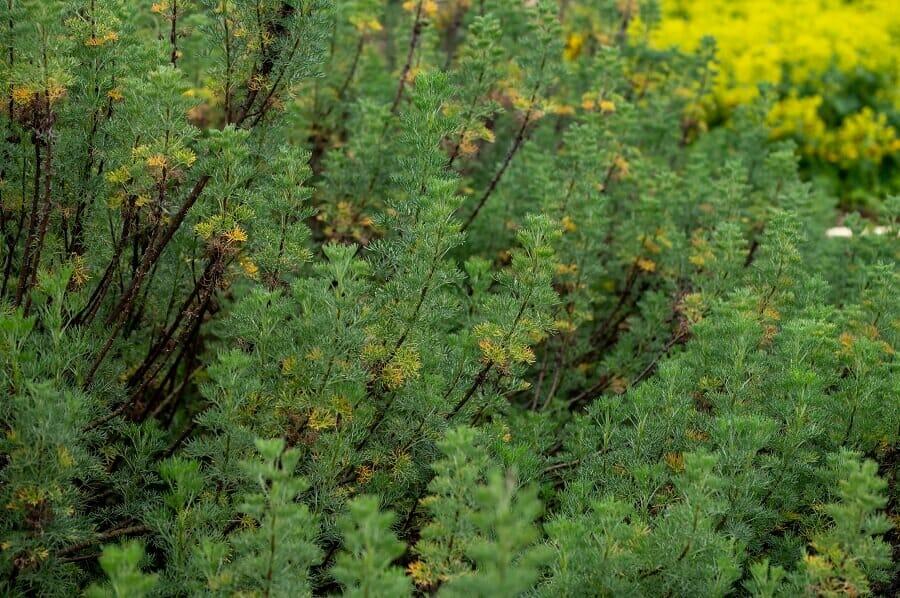 About Southernwood (Artemisia abrotanum)