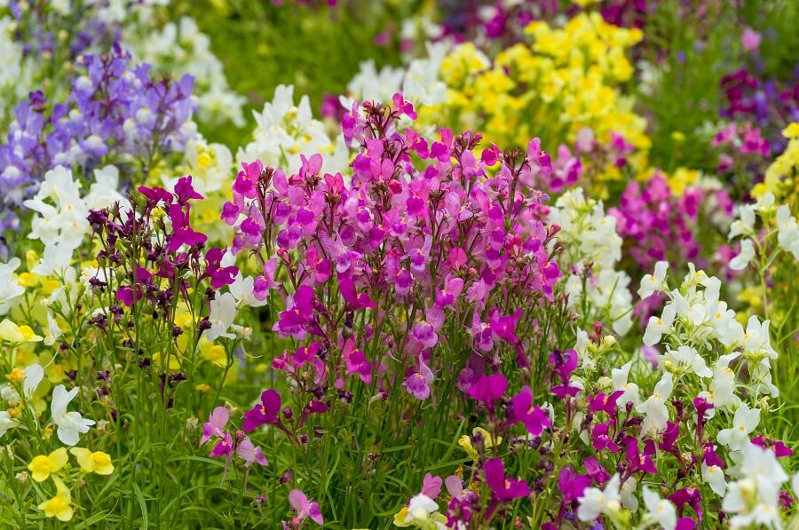 About Sweet Pea Flowers