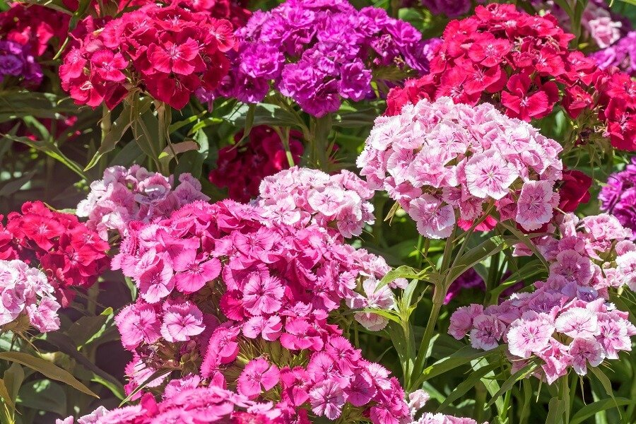 About Sweet William Flowers