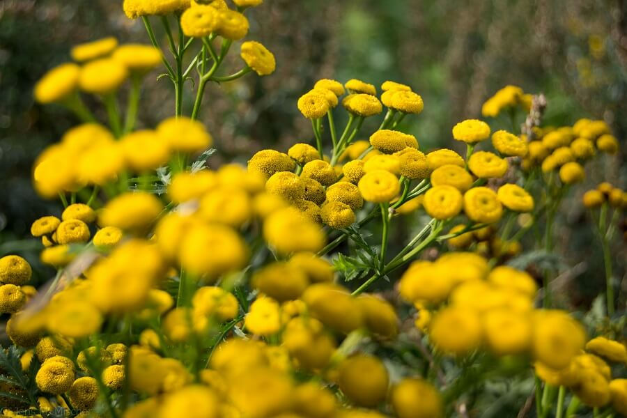 About Tansy Flowers