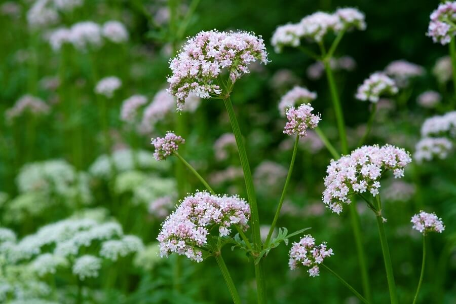 About Valerian Plants
