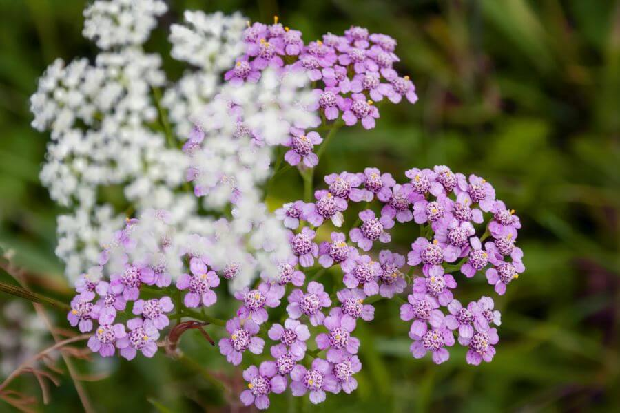 About Yarrow