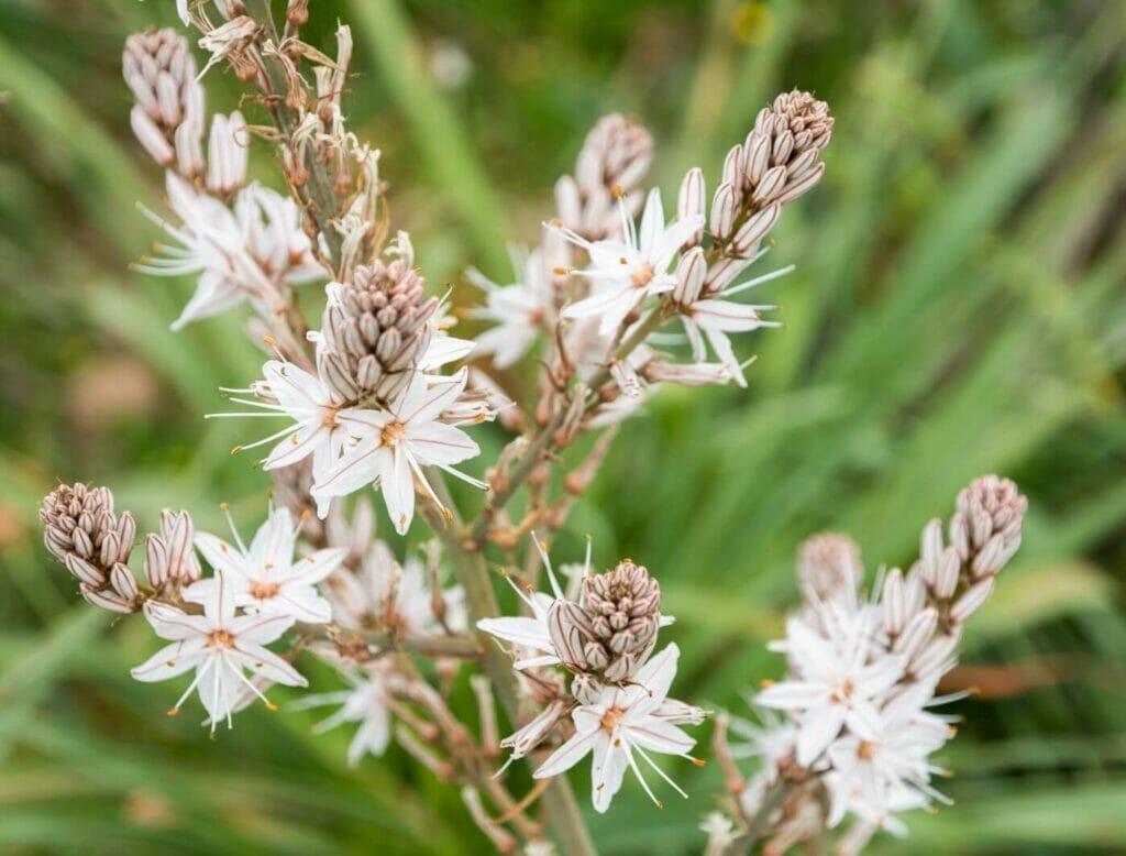 Asphodel flower meaning, symbolism, and uses