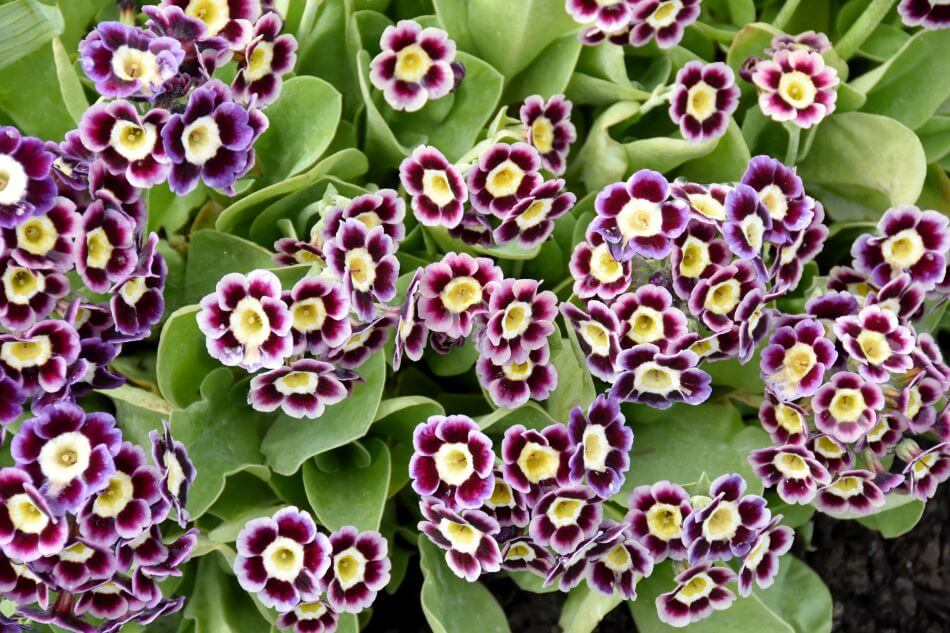 Auricula Flower Meaning & Symbolism