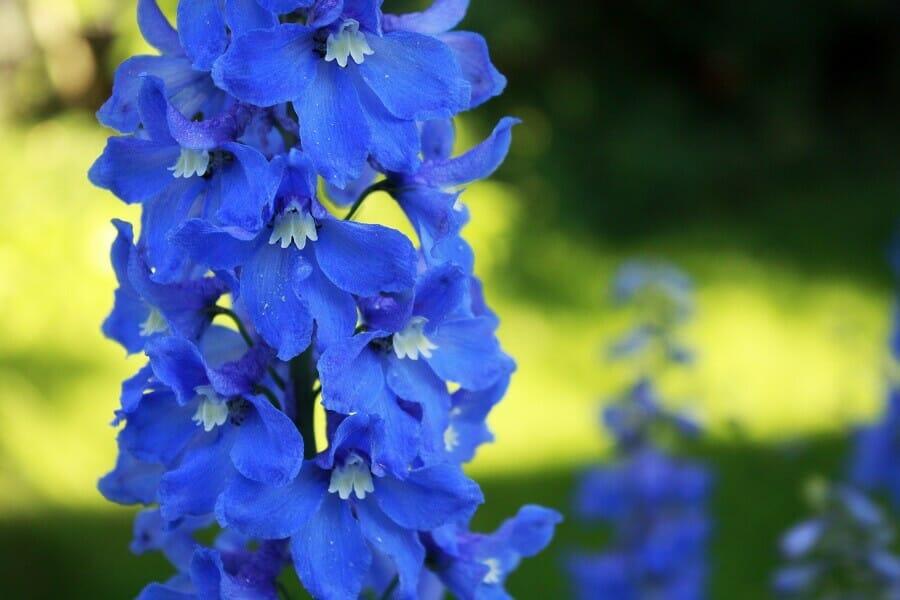 Blue Delphinium Flower Meaning
