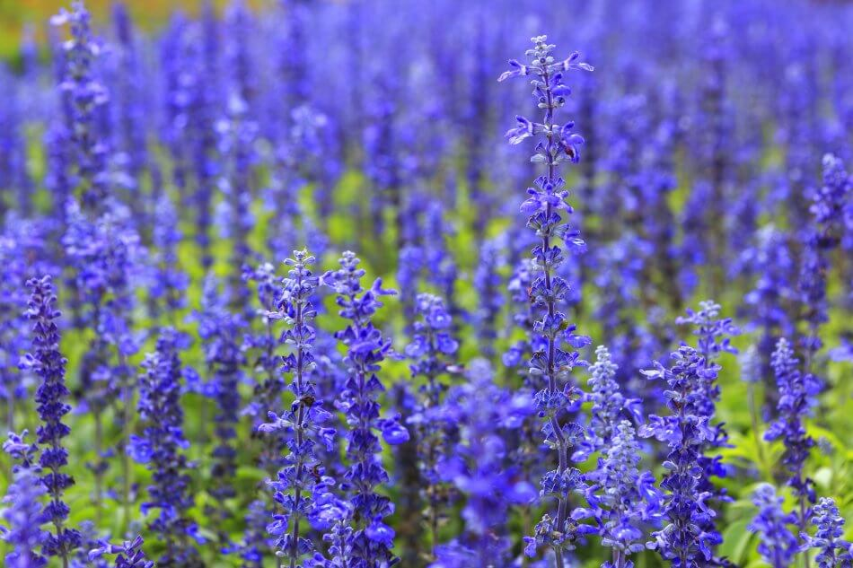 "Blue Salvia Flower Meaning – ""Thinking of you"""