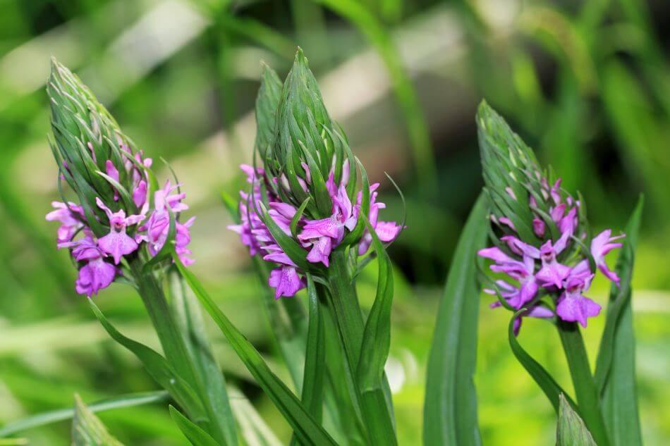 Broad-Leaved Marsh Orchid (Dactylorhiza majalis)