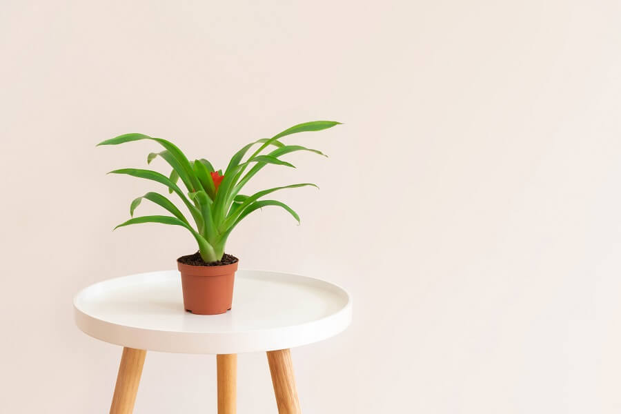 Caring for Your Post-Pruned Bromeliad Plant
