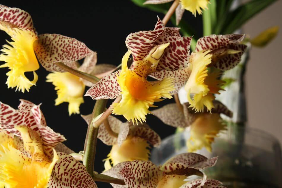 Catasetum Orchids (Catasetum)