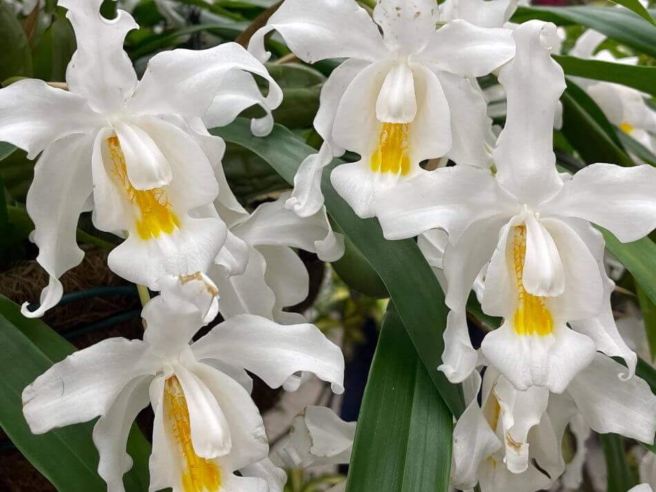 Coelogyne Orchids (Coelogyne)