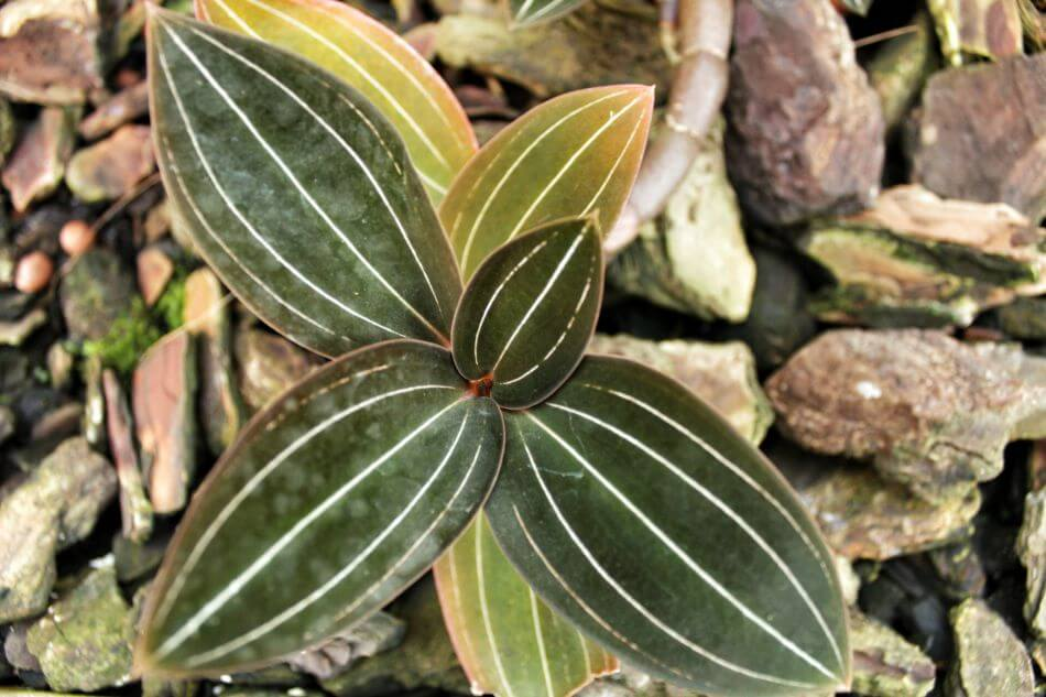 Common Jewel Orchid Problems, Pests & Diseases (and treatments!)