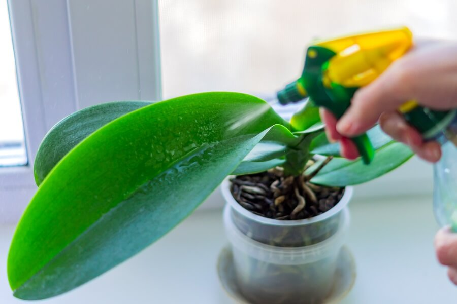 Common Phalaenopsis Orchid Problems, Pests & Diseases