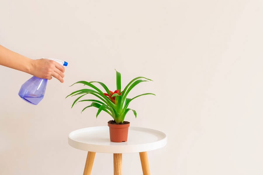 Do Bromeliad Plants Need to Be Misted