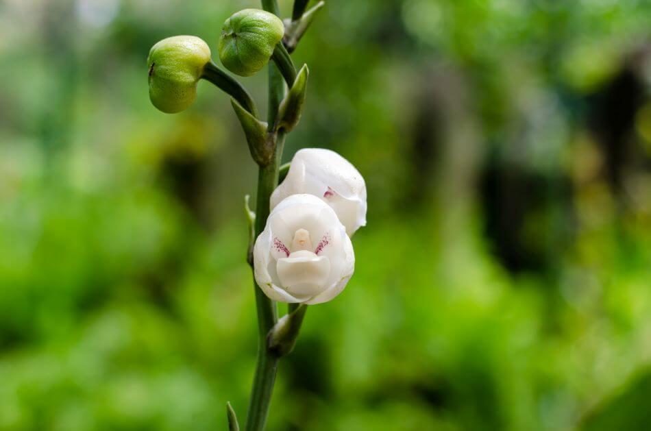 Dove Orchid (Peristeria elata)