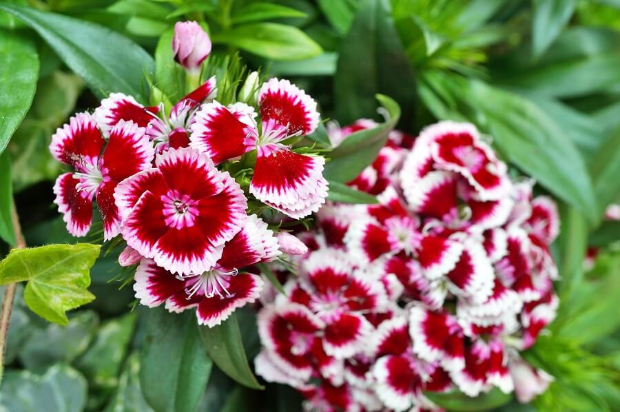 Etymological Meaning of Sweet William Flowers