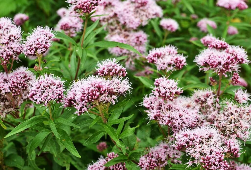 Everything You Need to Know About Valerian Plants