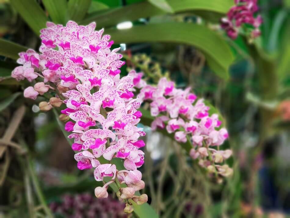 Fox Tail Orchid (Rhynchostylis gigantea)