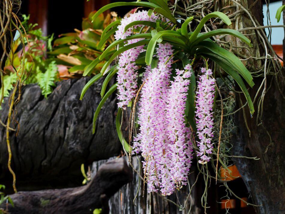 Fox Tail Orchid (Rhynchostylis retusa)