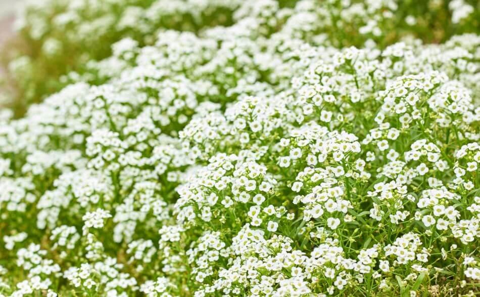 History & Origins of Alyssum Flowers
