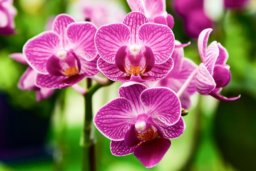 History & Origins of Phalaenopsis Orchids