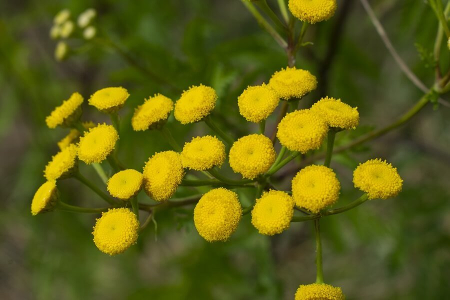 History and Origins of Tansy Flowers