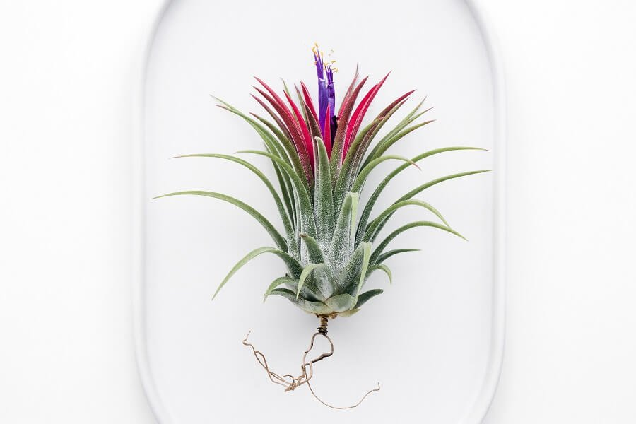 How, When, and Where Should I Cut a Bromeliad Flower off the Plant