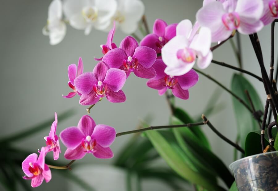 How to Grow and Care for Phalaenopsis Orchids at Home