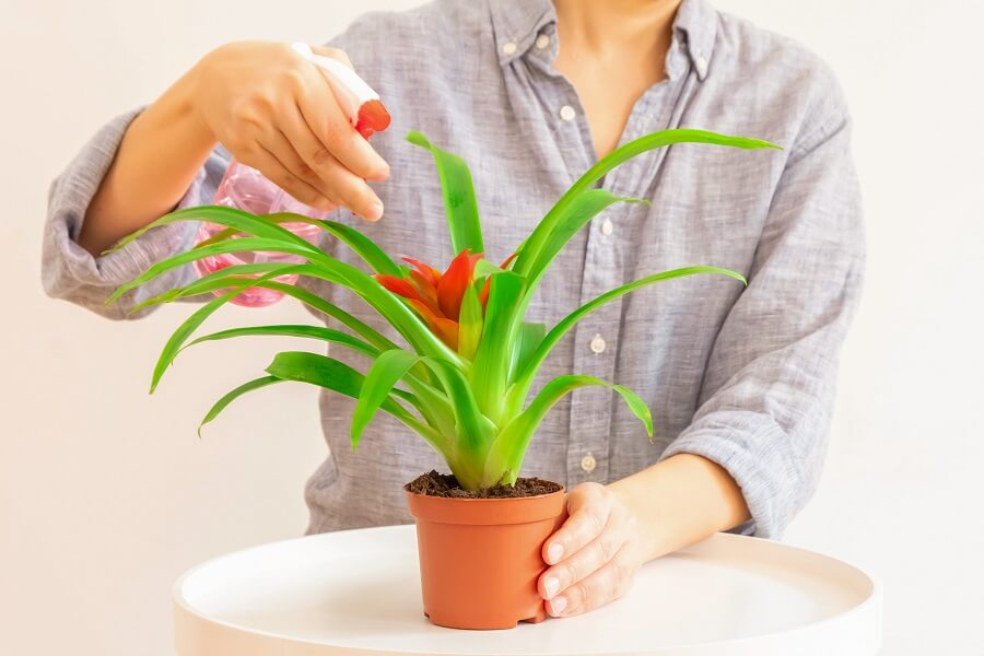 How to Water Bromeliad Plants