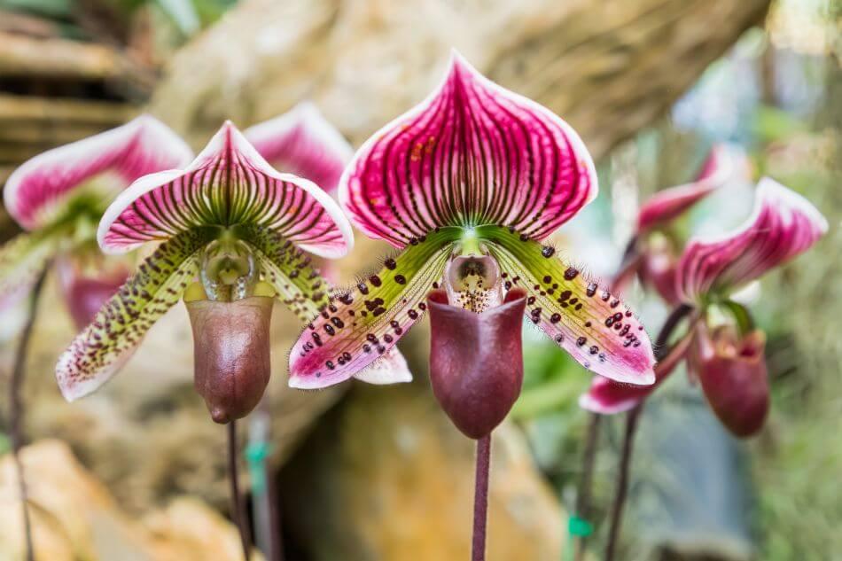 Lady's Slipper Orchids (Cypripedium calceolus)
