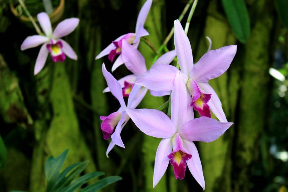 Laelia Orchids (Laelia)