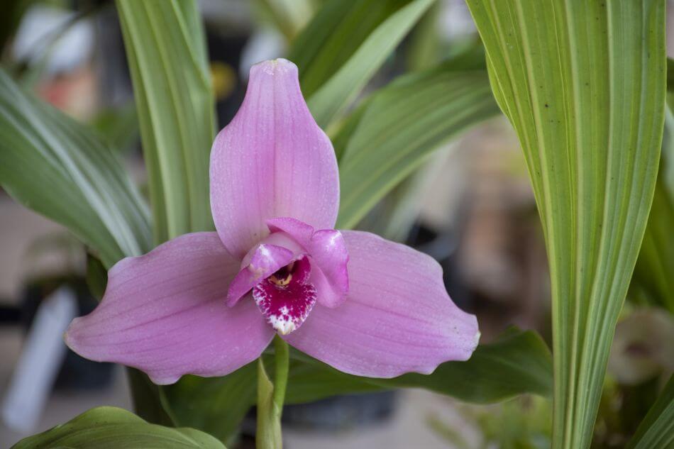 Lycaste Orchids (Lycaste)