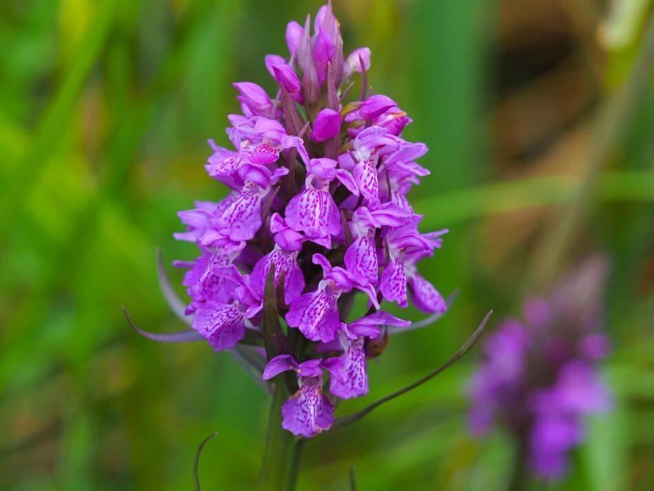 Marsh Orchid (Dactylorhiza)