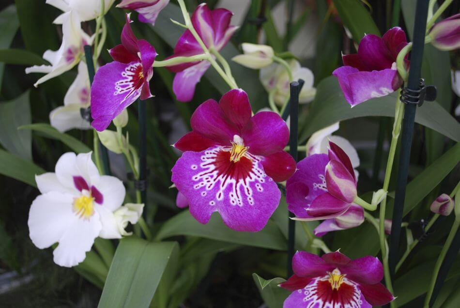 Miltonia Orchids (Miltonia)