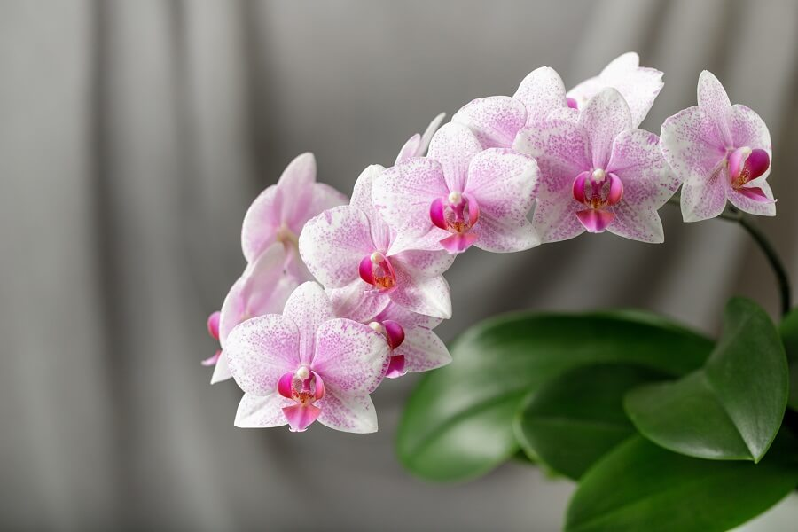 Phalaenopsis Orchids Meaning & Symbolism