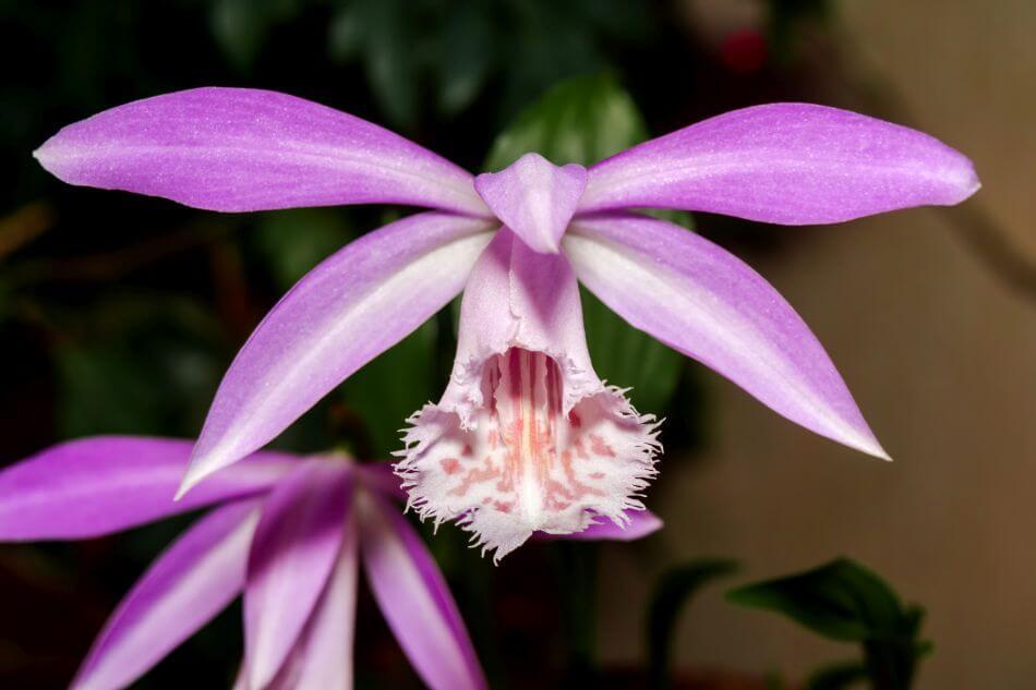 Pleione Orchids (Pleione)