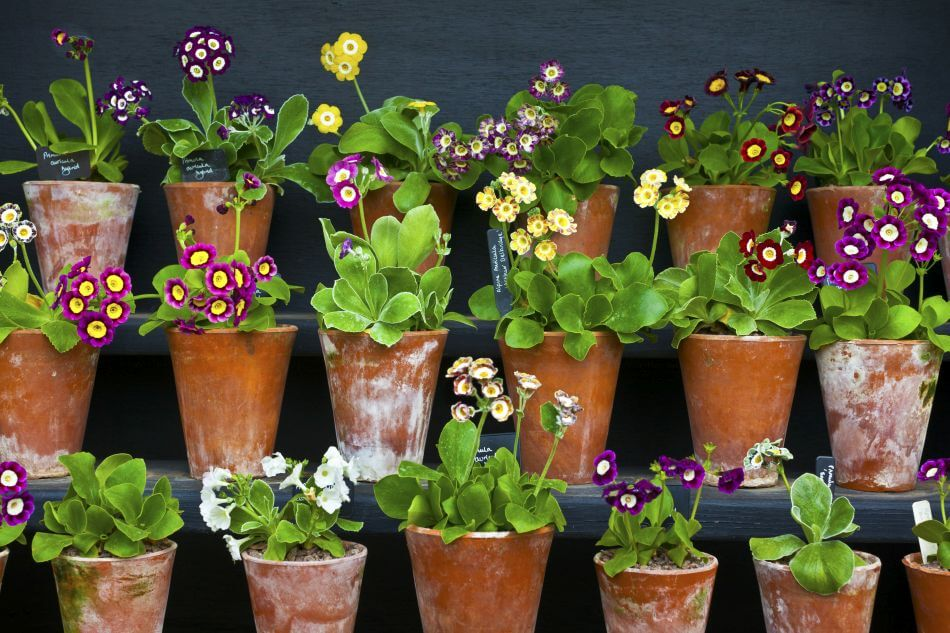 Popular Auricula Types, Species, and Cultivars