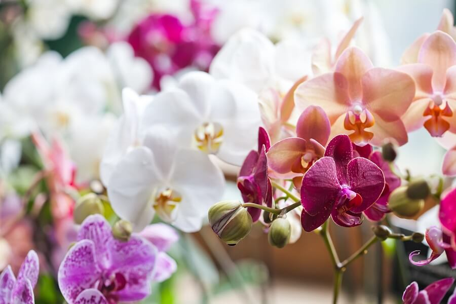 Popular Phalaenopsis Orchid Types, Species, and Cultivars