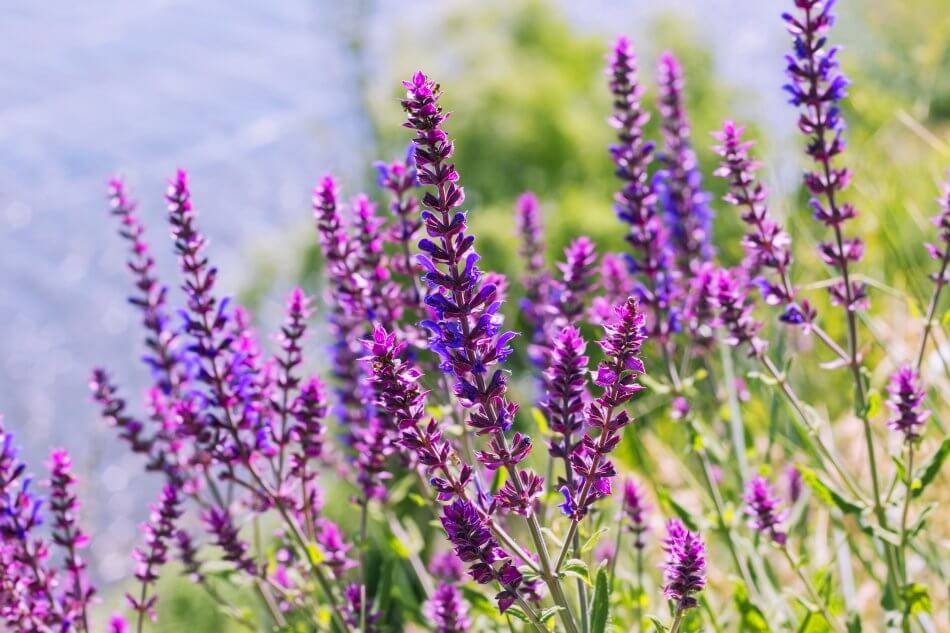 Popular Salvia Types, Species, and Cultivars