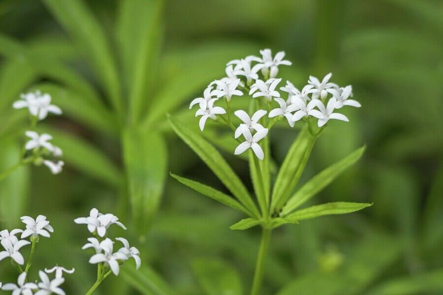 Popular Sweet Woodruff Flower Types, Species, and Cultivars