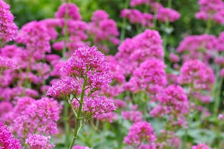 Popular Valerian Types, Species, and Cultivars