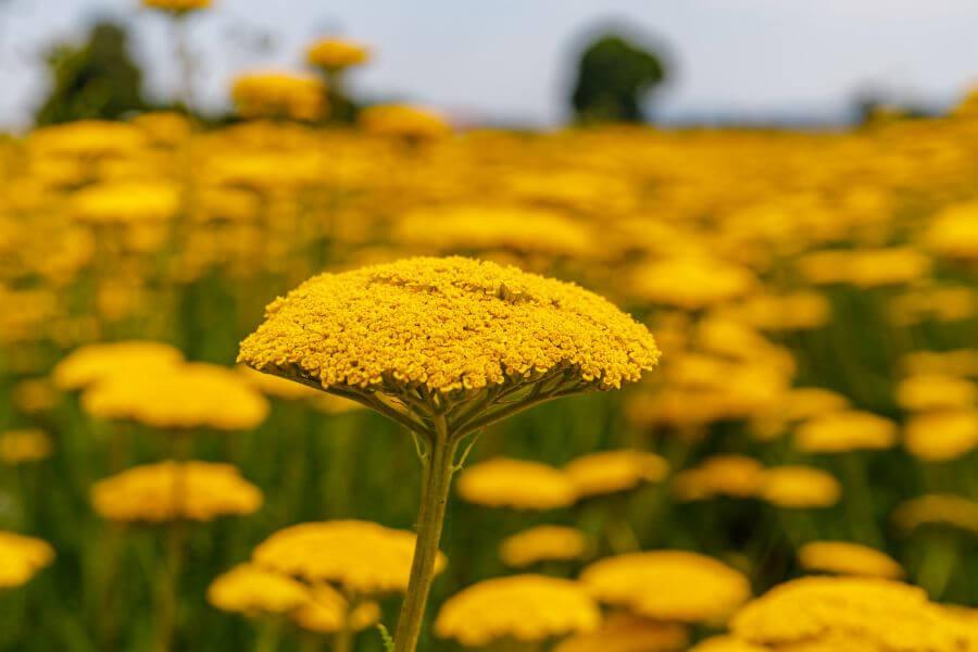 Popular Yarrow Types, Species, and Cultivars