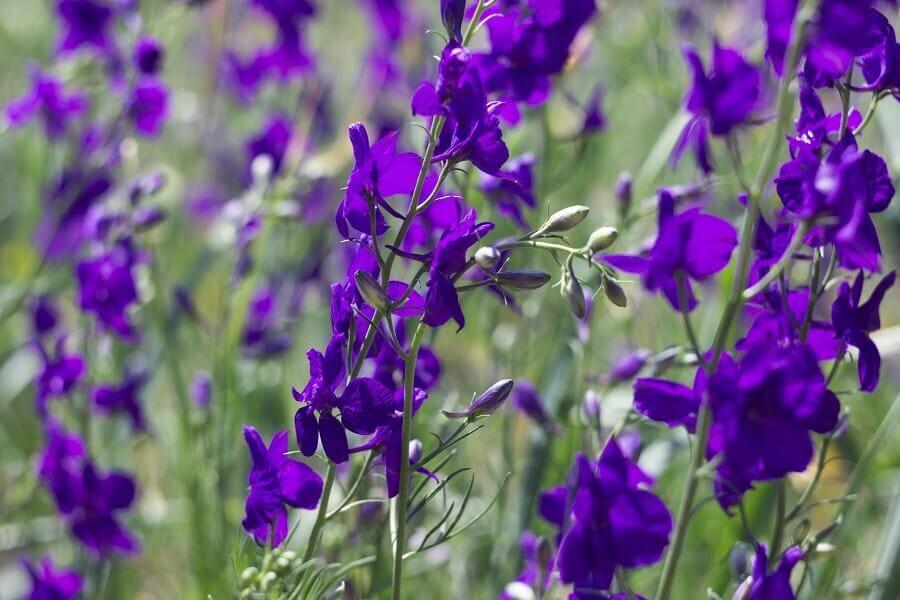 Purple Delphinium Flower Meaning