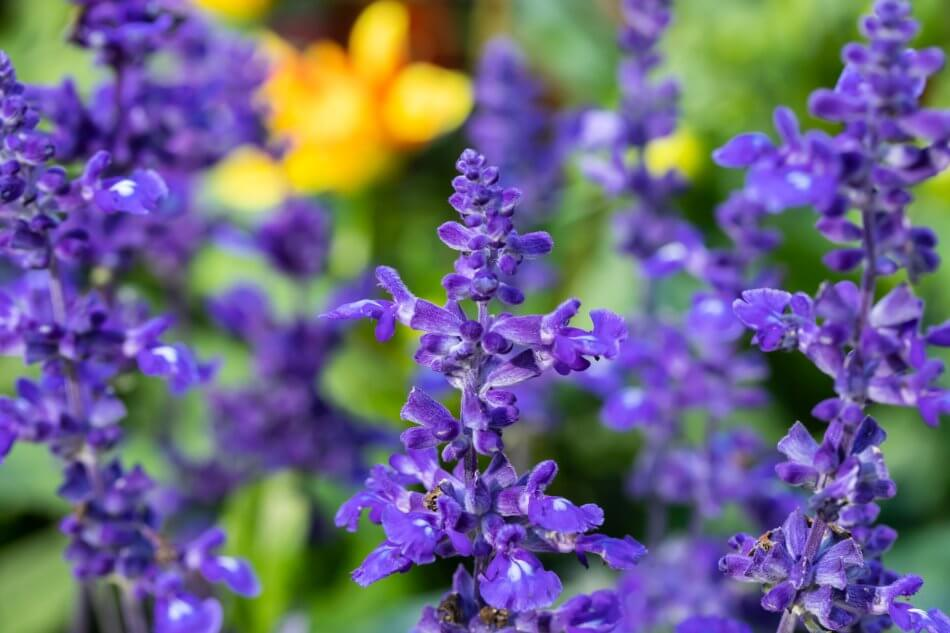 Purple Salvia Flower Meaning