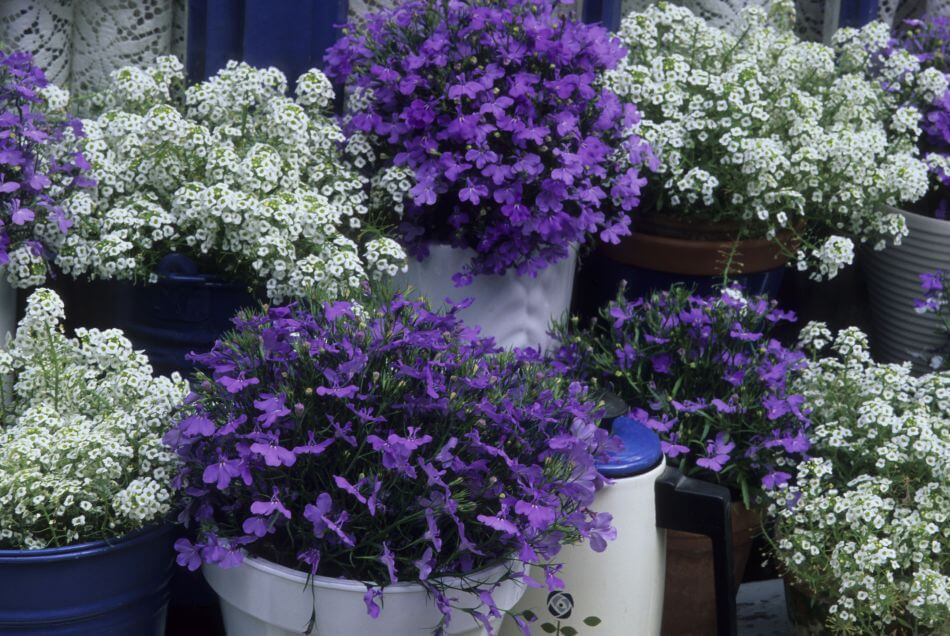 Suitable Gifting Occasions for Alyssum Flowers