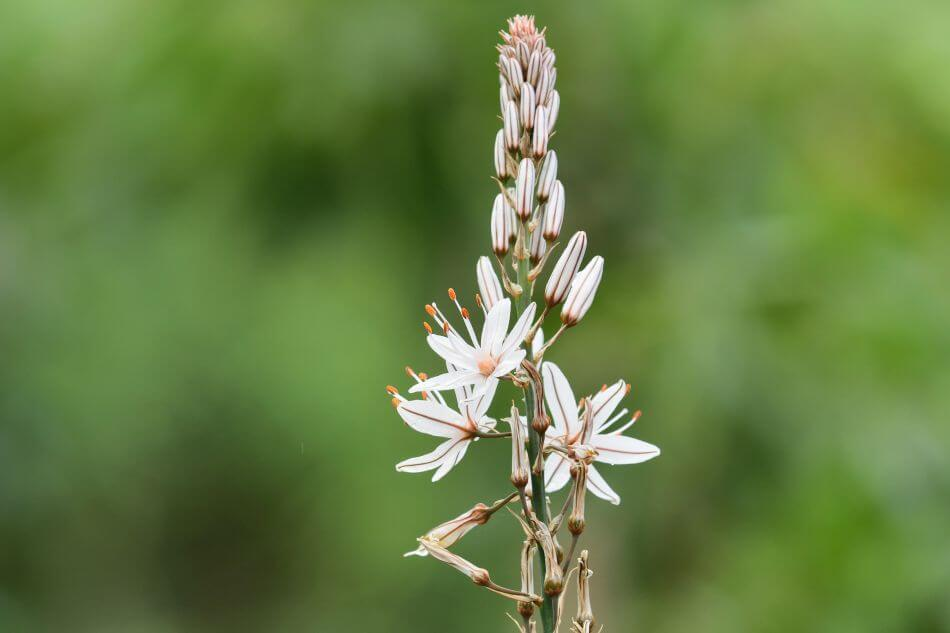Suitable Gifting Occasions for Asphodel Flowers