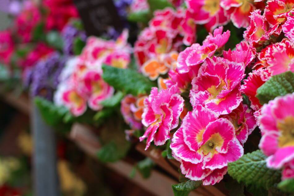 Suitable Gifting Occasions for Auricula Flowers