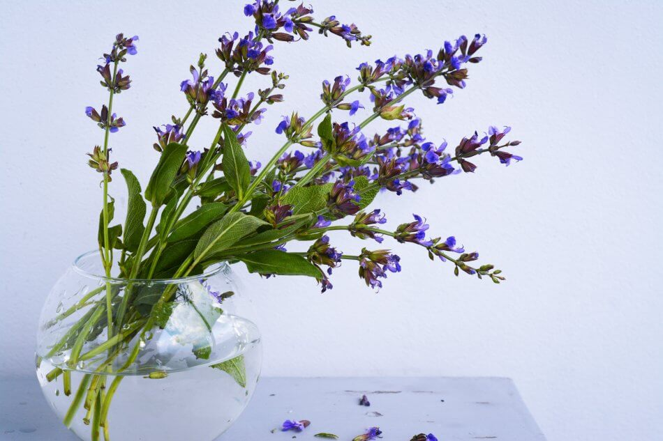 Suitable Gifting Occasions for Salvia Flowers