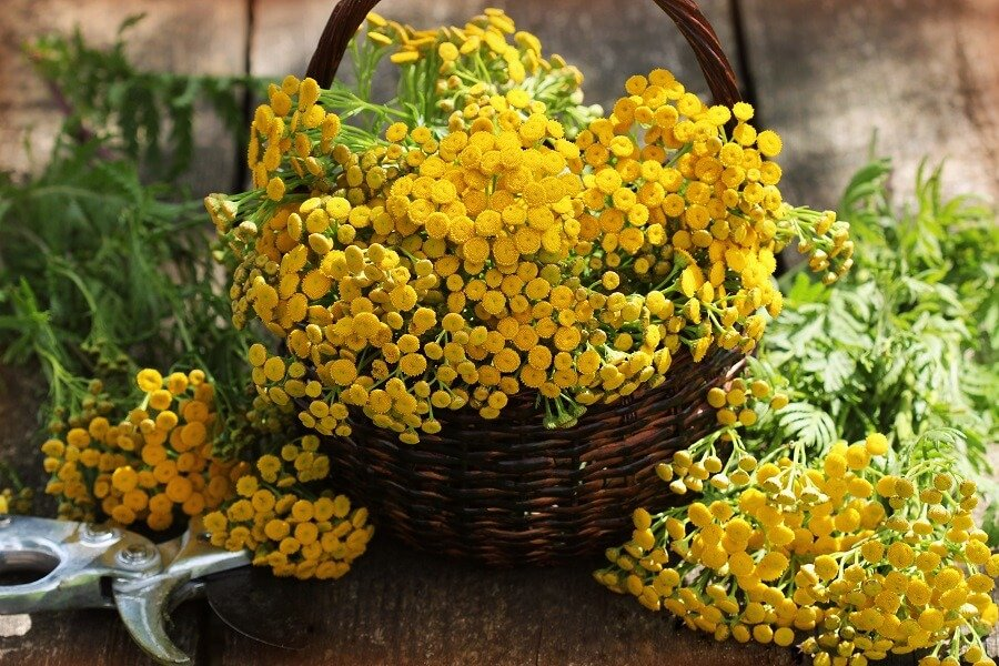 Suitable Gifting Occasions for Tansy Flowers