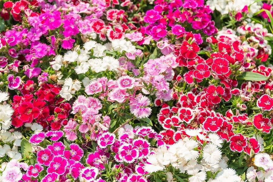 Sweet William Flower Meaning and Symbolism