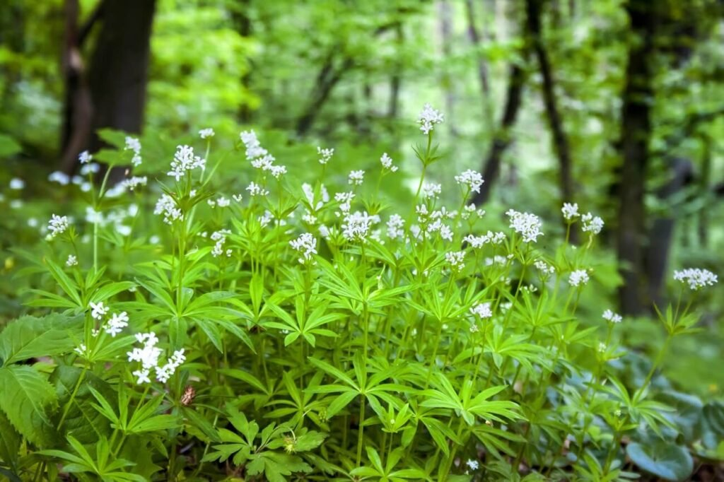 Sweet Woodruff Flower Meaning, Types, and Uses